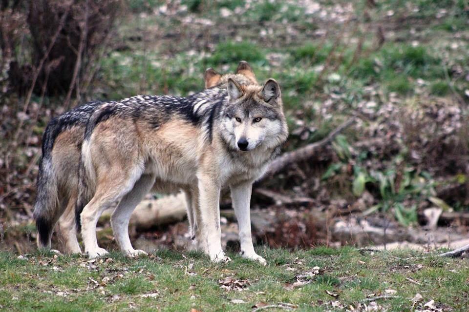 60% sprechen sich gegen Jagd auf Wölfe aus
